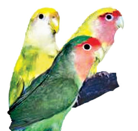 Lovebird Care Facts Lovebirds As Pets Petco