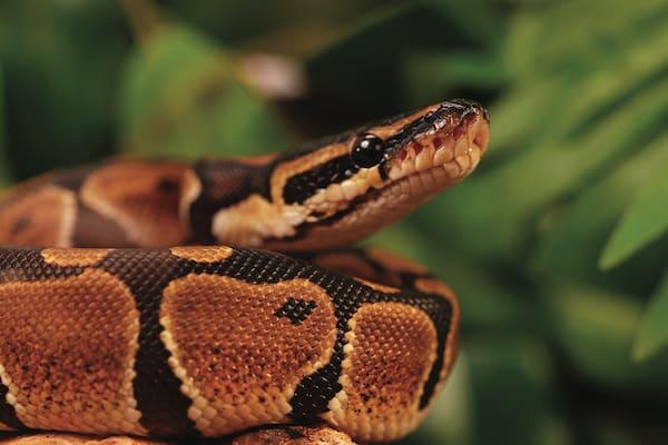 ball python pet snake