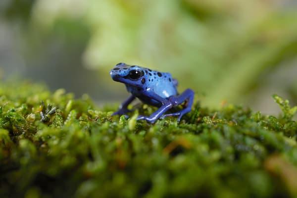 pet dart frog