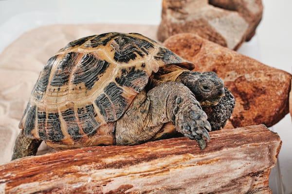 Russian tortoise pet