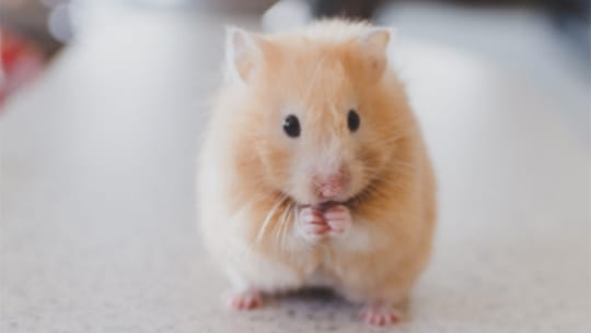 What To Know About Your New Hamster Petco