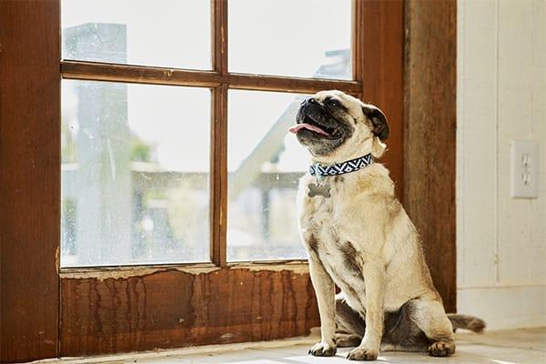 pug sitting next to door