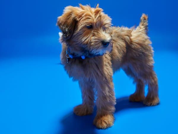 Puppy on blue background