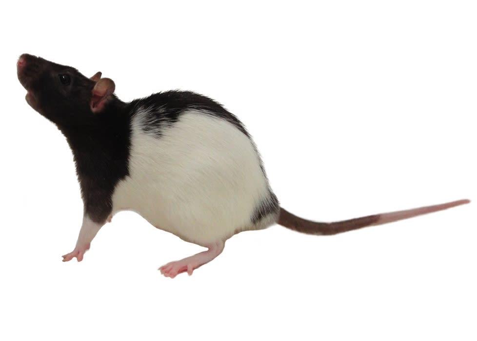 Rat Caresheet Petco