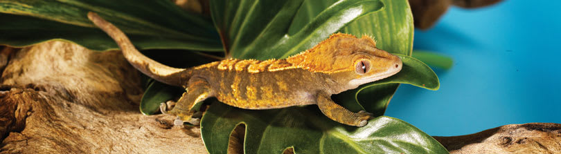Fun Facts about Leopard Geckos
