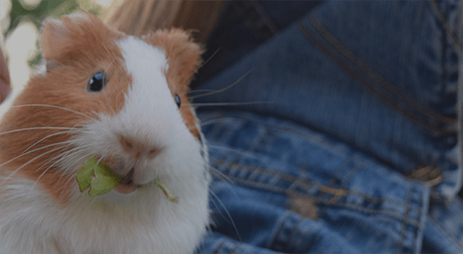 What To Buy Your New Guinea Pig Petco