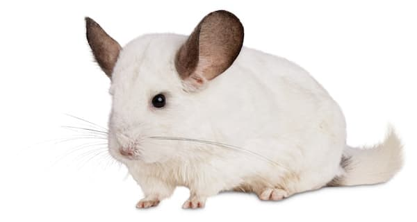 white pet chinchilla